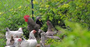 Associer poules et potager